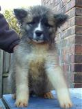 akita puppy posted by shamrock