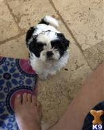 shih tzu puppy posted by shanemore