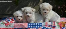 bichon frise puppy posted by shannon55