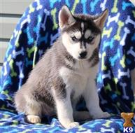 siberian husky puppy posted by Sharon000V