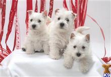 west highland white terrier puppy posted by sharonbuoax