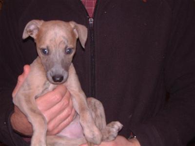 sheawhippets Picture 2