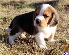 beagle puppy posted by shehanedanny