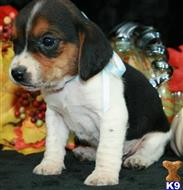 beagle puppy posted by shehanedanny1