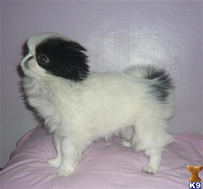 Japanese Chin Puppies on Japanese Chin Puppies   Japanese Chin Puppy For Sale In The Uk