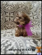 shih tzu puppy posted by Shitztzulover