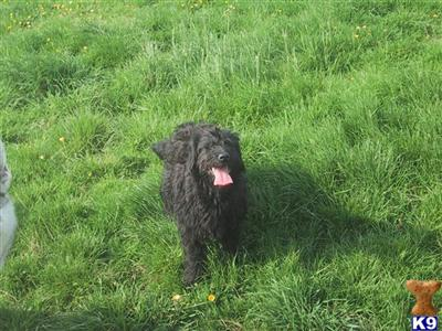 labradoodles puppies for sale. labradoodles puppies for sale. Labradoodle Puppies for Sale
