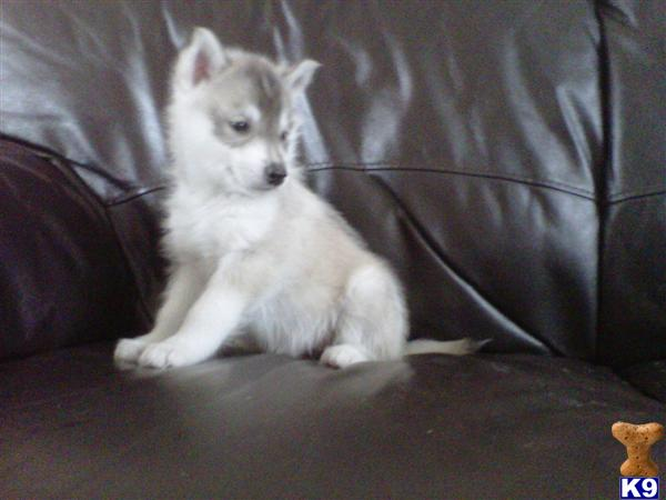 Kennel Club registered Siberian Husky puppies for 31029