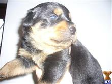 rottweiler puppy posted by simbad