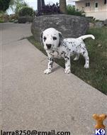 dalmatian puppy posted by sipexir426