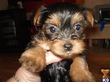 yorkshire terrier puppy posted by sloany14
