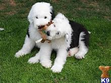 old english sheepdog puppy posted by smithh
