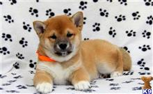 shiba inu puppy posted by smithh