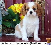 king charles spaniel puppy posted by smithhmorgane