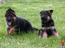 german shepherd puppy posted by socohi1012