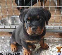 rottweiler puppy posted by sodapi2340