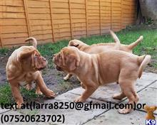 dogue de bordeaux puppy posted by somed71282
