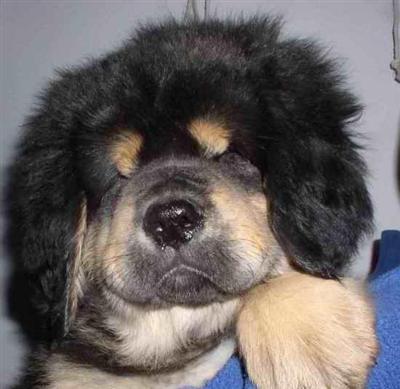 Mastiff Puppies on Mastiff Puppies For Sale