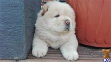 chow chow puppy posted by stdshowl