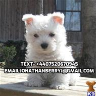 west highland white terrier puppy posted by stevenlook