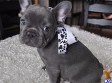 french bulldog puppy posted by stockypupshome