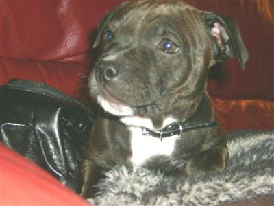 stokerstaffies Picture 1