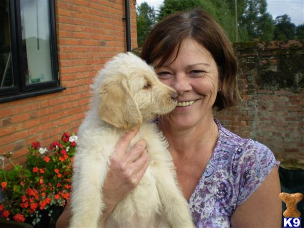 labradoodle puppies for sale. Labradoodle Puppies for Sale