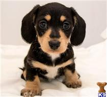 dachshund puppy posted by summer50