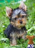 yorkshire terrier puppy posted by susanglason