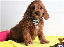 cavalier king charles spaniel puppy posted by susankelly11