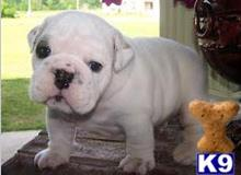 bulldog puppy posted by sweethigh10
