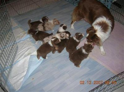 Australian Shepherd Puppies on Thoiry  France Australian Shepherd Puppies