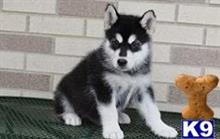 alaskan malamute puppy posted by teamsupport