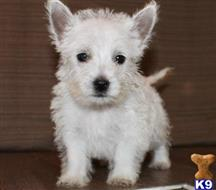 west highland white terrier puppy posted by teamsupport