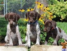 german shorthaired pointer puppy posted by tekigad4830