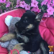 german shepherd puppy posted by terosi49757