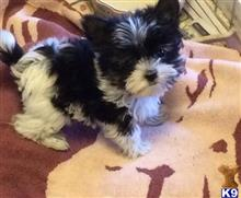 biewer yorkshire terriers puppy posted by terryblack1112