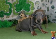 dachshund puppy posted by terryblack1112