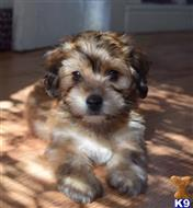 havanese puppy posted by tesorohabana