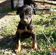 doberman pinscher puppy posted by tesoti2360