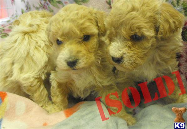 Frise Puppies Playing For Sale 19breeders Hd | Dog Breeds Picture