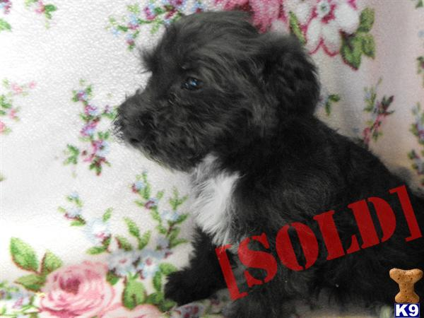 CHONZER PUPPIES - ADORABLE BICHON FRISE X MINIATURE SCHNAUZER, READY