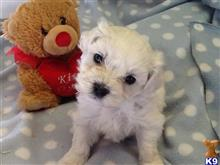 bichon frise puppy posted by tessamarchand