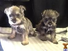 miniature schnauzer puppy posted by tessamarchand