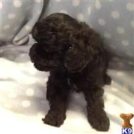 poodle puppy posted by tessamarchand