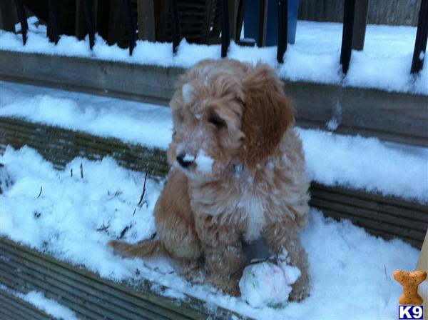cockapoo puppies for sale in michigan. Puppies for Sale More Details.
