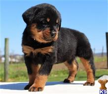 rottweiler puppy posted by thomasburks297