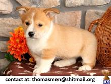 pembroke welsh corgi puppy posted by thomasmen