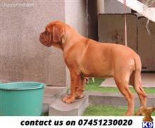 dogue de bordeaux puppy posted by thomsondyke4