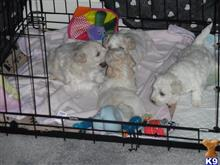 bichon frise puppy posted by Tialex